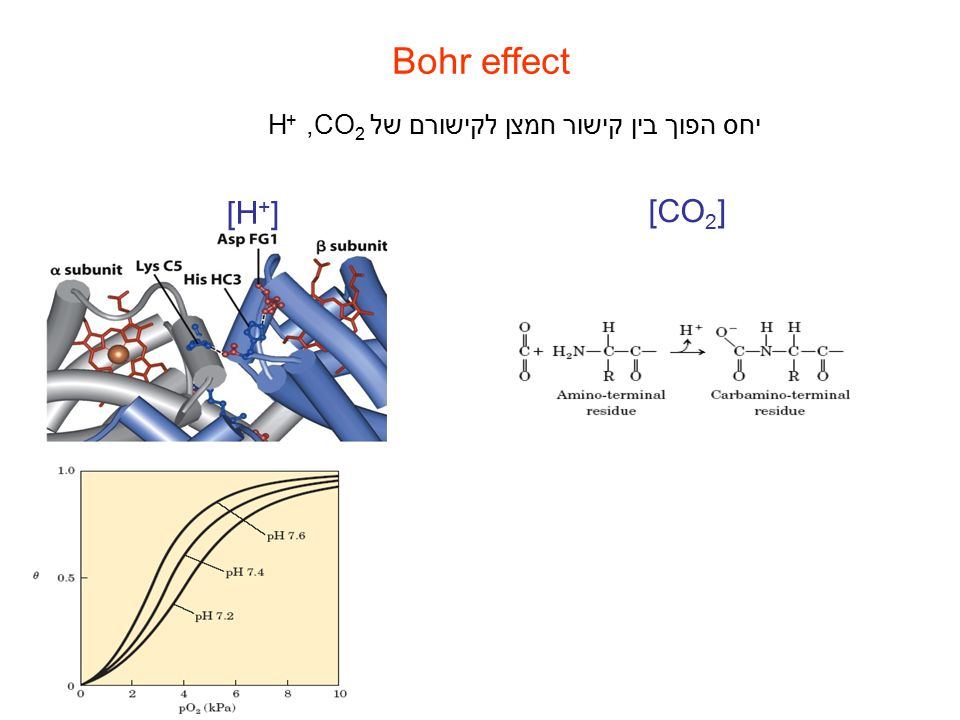 Bohr effect יחס הפוך בין קישור חמצן לקישורם של ,CO2+H [H+] [CO2]